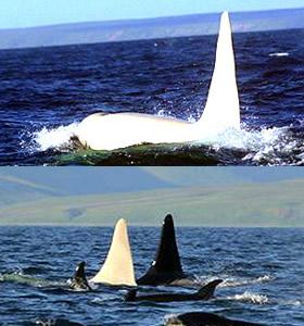 ballena-asesina-blanca
