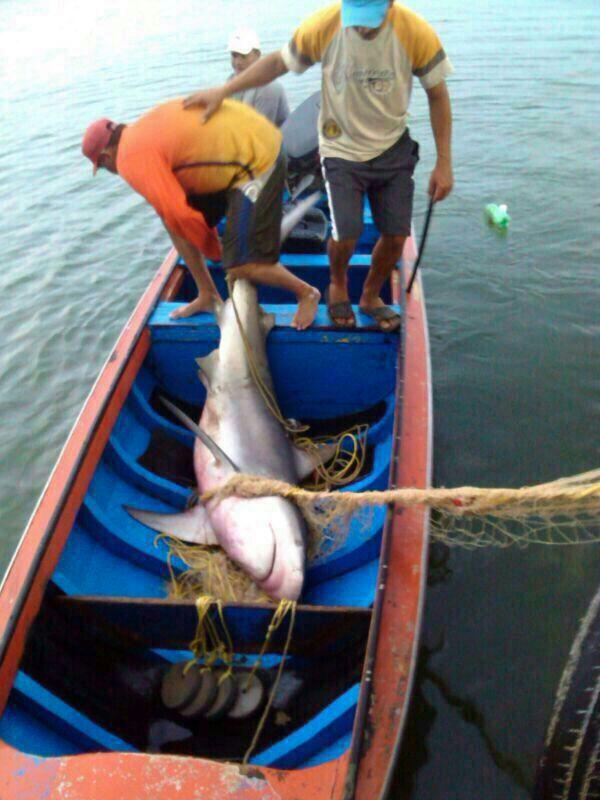 tiburon11