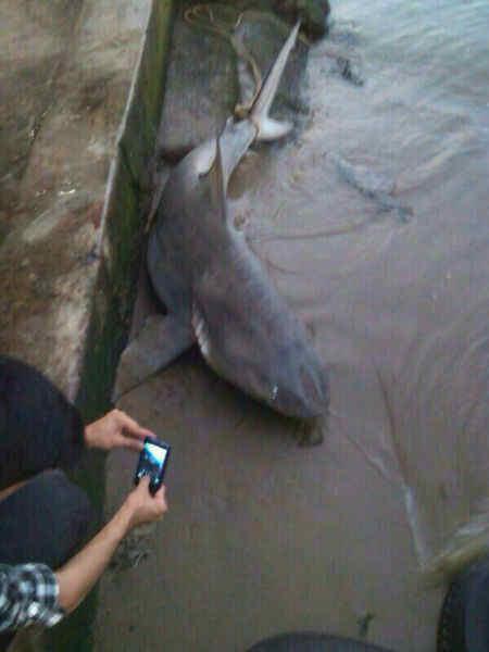 tiburon23