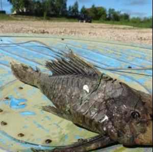 capturan un pez  mutante con cabeza de reptil y escamas fosilizadas