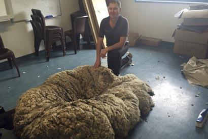 """CAN04 CANBERRA (AUSTRALIA) 03/09/2015.- El cuatro veces campeón de esquila, Ian Elkins, posa con la lana de la oveja """"Chris"""" una oveja errante con mucha lana en Canberra (Australia) hoy, 3 de septiembre de 2015. Esquiladores australianos sacaron hoy 42,3 kilos de lana a una oveja errante, lo que supone un nuevo récord mundial que supera el anterior establecido en Nueva Zelanda el año pasado. Ian Elkins y cuatro asistentes necesitaron 42 minutos para esquilar la lana de la oveja, que fue rescatada ayer tras ser avistada deambulando cerca de Camberra, según la cadena australiana ABC. La organización para la prevención de la crueldad contra los animales (RSPCA), que la rescató, cree que la oveja, que caminaba con dificultad debido a la cantidad de lana que cargaba, no había sido esquilada en más de cinco años. EFE/Rashida Yosufzai PROHIBIDO SU USO EN AUSTRALIA Y NUEVA ZELANDA"""