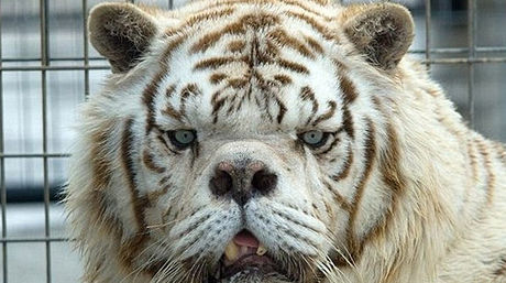 White tiger forex