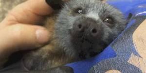 Adorable cría de murciélago se hace viral
