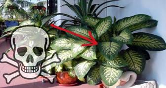 Esta planta en el hogar puede matar a un adulto