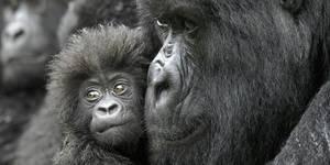 60 de los primates están amenazados de extinción