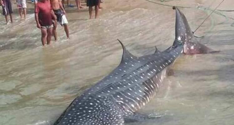 hallaron-un-tiburon-ballena-a-orillas-de-playa-en-higuerote