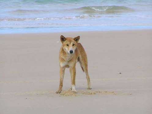 Fraser Island Digamos que ir a Fraser Island es más peligroso que grabar un Especial Callejeros en las 3.000 Viviendas. Para quien no la conozca, Fraser Island es la isla de arena más grande del mundo. Situada en Australia, su lista de peligros es amplia y curiosa. Empezando por el agua, infestada de tiburones y medusas letales, a los que se suman las fuertes corrientes que año tras año se llevan a algún insentado bañista. Una vez fuera, en la arena, el problema tiene un nombre: dingos. Estos perros salvajes están en peligro de extinción, por lo que no les puedes hacer nada. Ellos a ti sí. Avisado estás. No termina ahí la cosa. A los dingos se suman las serpientes y las arañas que usan la arena para camuflarse y atacar a sus víctimas con tranquilidad.
