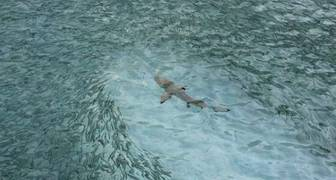 Isla Reunión La Isla Reunión, situada al este de Madagascar, es uno de los puntos favoritos para turistas y, sobre todo, para surferos. El tamaño de las olas, el viento y las condiciones, convierten Isla de Reunión en un campo de entrenamiento perfecto para surfistas. Al menos para los que sobreviven. Y es que esta isla tiene un pequeño gran inconveniente: su tremenda colonia de tiburones. Los ataques se han multiplicado con el paso del tiempo. 23 en los últimos 6 años, con el resultado de 9 fallecidos. Y no hablamos de cualquier tipo de ataques, sino realizados casi en la orilla. Los tiburones han perdido el respeto a los humanos y si ven comida, van a por ella. Lo malo es que, a pesar de advertencias y sanciones, la gente sigue haciendo caso omiso al peligro.