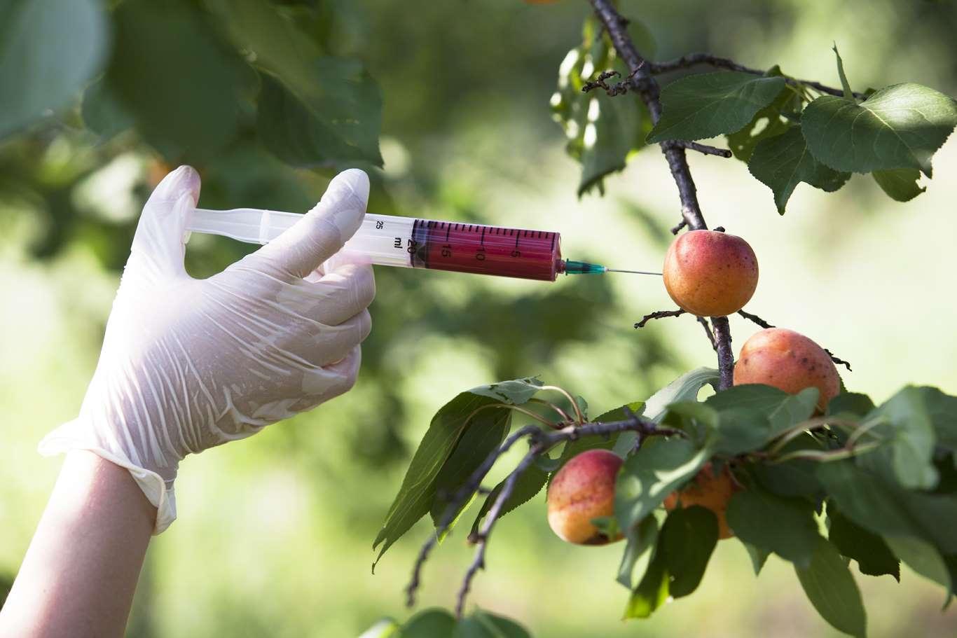 Distintos estudios en animales comprueban la relación entre el desarrollo de tumores cancerígenos (sobre todo en el vientre) y el consumo de productos genéticamente modificados.
