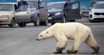 Osa polar perdida es llevada a zoo siberiano