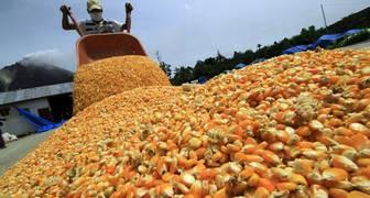 maiz venezolano