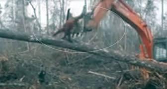 Un Orangután lucha contra la excavadora de taladores de árboles ilegales para proteger su bosque