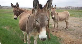 burro africano en peligro de extinción