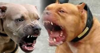 pitbulls perros asesinos