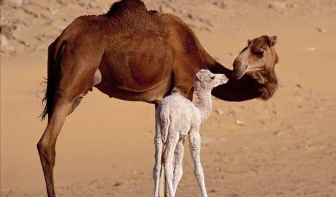 Australia matará 10mil camellos