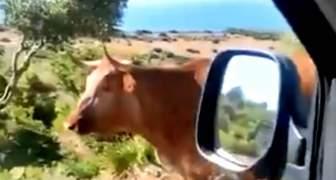 VIDEO DE LA VACA QUE DA DIRECCIONES PARA BOLONIA