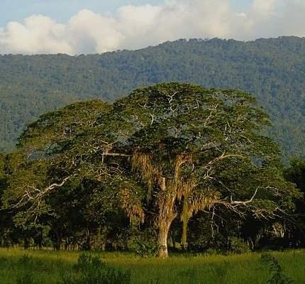 especies arbóreas de Venezuela están amenazadas de extinción